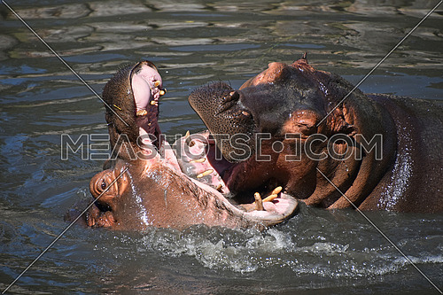Couple of hippos swim and play in water