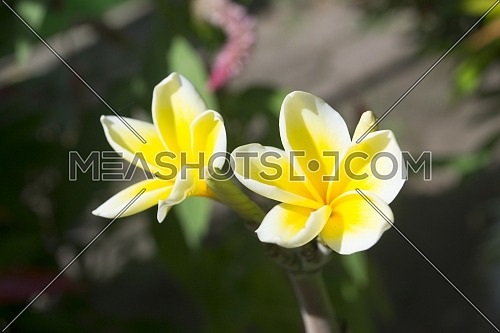two frangipani flowers a combination of yellow and white begin to bloom the background of the tree and green leaves