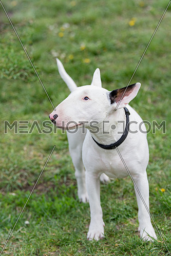 White Bull terrier on nature in the spring
