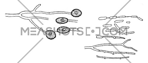 Conidia form, Chlamydospores and germination, vintage engraved illustration.
