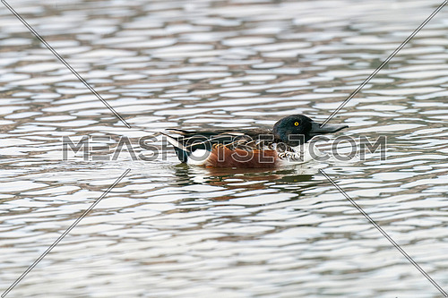 Northern Shoveler Male in Water (Spatula clypeata)
