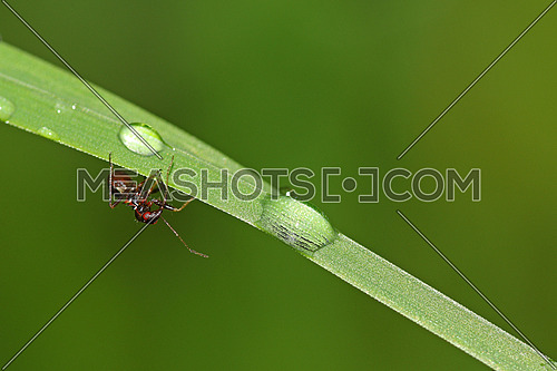 Drops of rain water on grass with ant