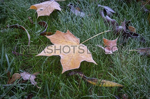 Assortment of autumn leaves covered with frost