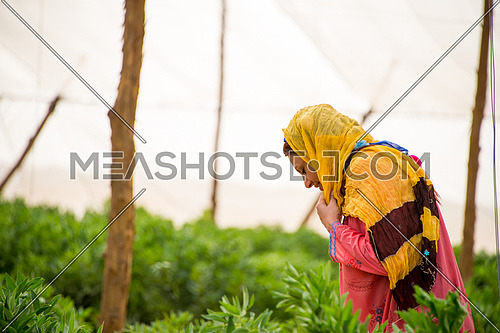a female egyptian farmer walking arround in the farm between plants