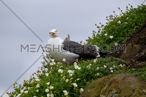 Side view of Great Black-backed Gull (Larus marinus)