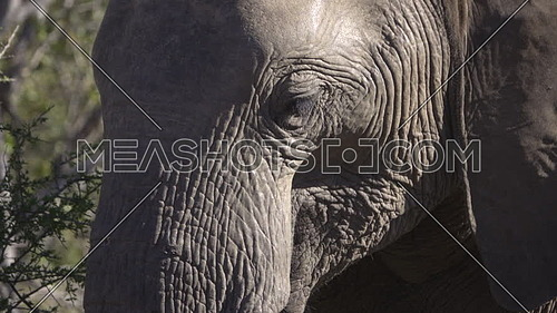 Scene of a close view of a young male elephants head