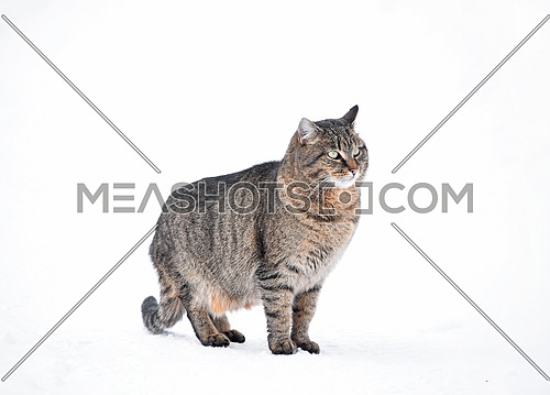 Full length profile portrait of one gray domestic cat sitting on white background of winter snow and looking away, low angle side view