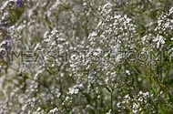Gypsophila paniculata common, small white flowers bush, also known as tumbleweed or baby's breath, trembling, shaking in the wind, focusing in