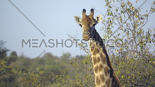View of a Giraffe looking over to the camera