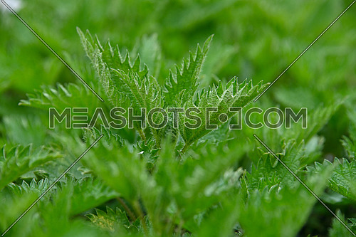 Close up fresh green nettle leaves in garden, high angle view