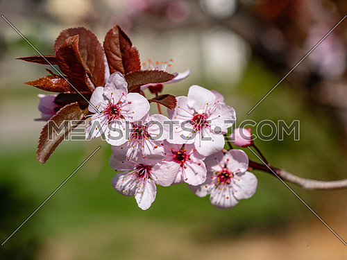 A branch of a blossoming pear tree with pink little flowers. Delicate flowering and the heady scent of spring