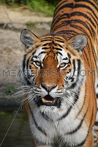 Close up front portrait of one young Siberian tiger (Amur tiger, Panthera tigris altaica) standing in water and looking at camera, high angle view