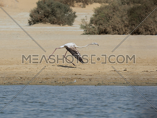 Greater Flamingo flying