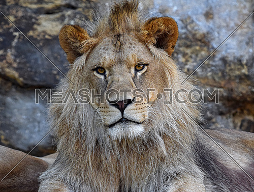 Close up front portrait of young cute male African lion with beautiful mane, looking at camera, low angle view