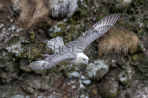Fulmar light morphs hovering near seabird colonies