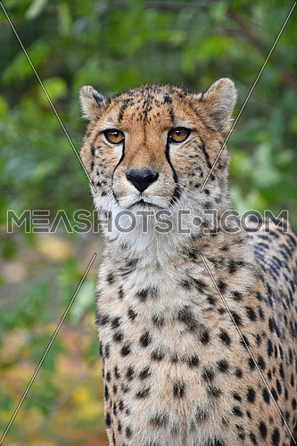 Close up portrait of cheetah (Acinonyx jubatus) looking at camera over green background, low angle view