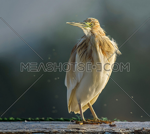 Squacco Heron on sunset light