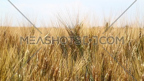 Close up wield of ripe mature wheat full ears spikes shaking in the wind under clear white sky, low angle view
