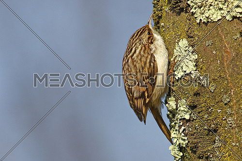 Tree creeper, Certhia Familiaris, climbing on a tree trunk looking for insects in the bark