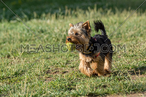 Yorkshire Terrier running with a ball Selective focus on the dog