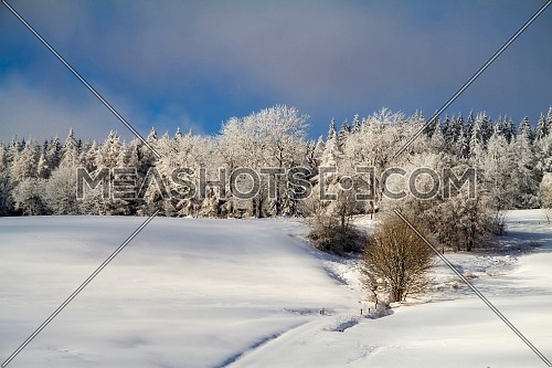Winter nature. Winter forest landscape in early morning with frosty tree under winter snowfall.
