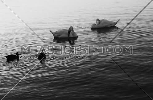 black and white Swans at the River Danube
