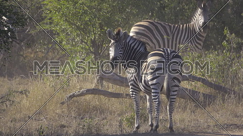 View of a Zebra turned back and looking