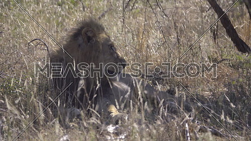 Scene of a male lion in the shade of a tree