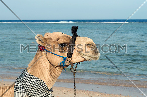 close up for a camel's head by the sea at day.