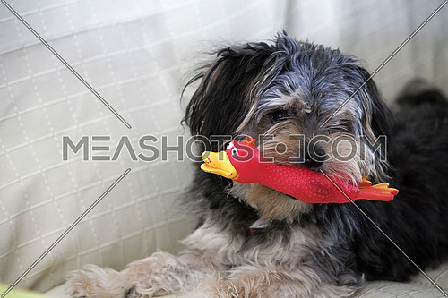 Small dog hair black biting a toy red