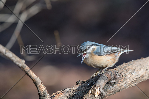 Eurasian Nuthatch Sitta europaea in the autumn, sitting on a tree trunk