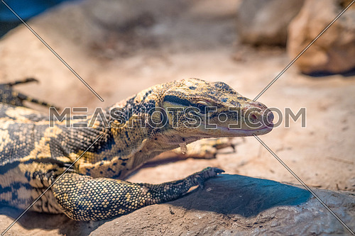 Yellow-headed water monitor (Varanus cumingi), also known as the Cuming's water monitor. Wildlife animal.