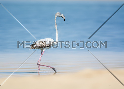 Greater Flamingo by the sea