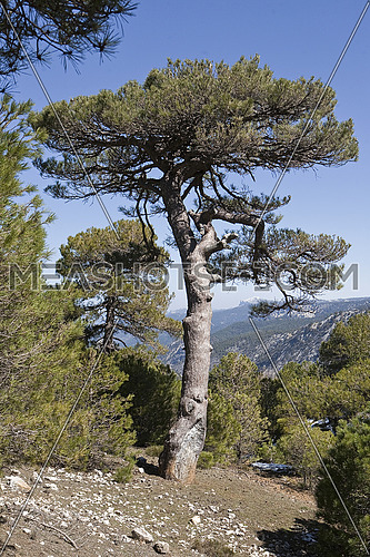 Pinus halepensis or carrasque–o, original pine from South to West Asia Europe can reach fifteen meters high and seven meters in width, Sierra de Cazorla, JaŽn province, Andalusia, Spain