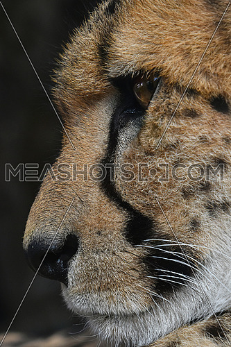 Extreme close up side profile portrait of cheetah (Acinonyx jubatus) looking away, low angle view