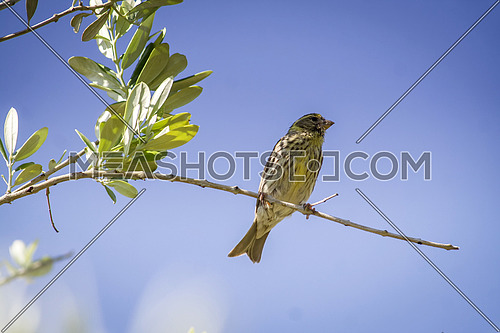 Sparrow placed on branches of olive tree, also called chamarin, Andalusia, Spain