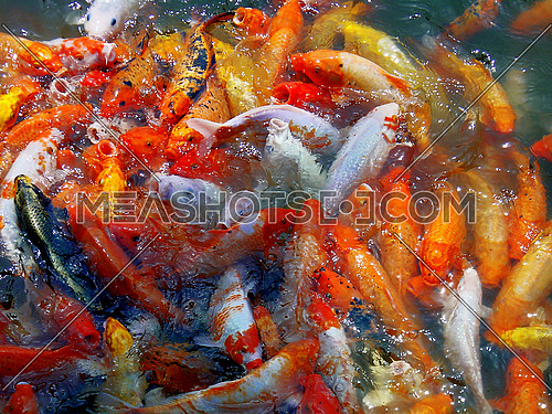 bounch of goldfishes splashing on the wather