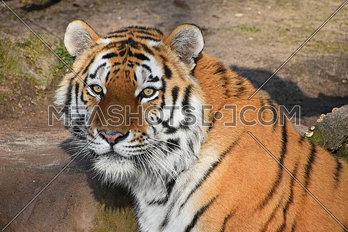 Close up portrait of young Siberian tiger (Amur tiger, Panthera tigris altaica), looking at camera