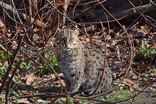 Fishing cat (Prionailurus viverrinus) sitting on the ground among trees and looking at camera, high angle view
