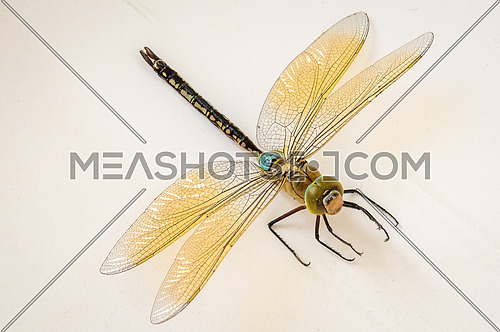 Anisoptera Dragonfly close up on nutral background