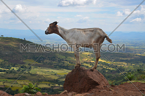 A GOAT standing on a rock over looking a green landscape
