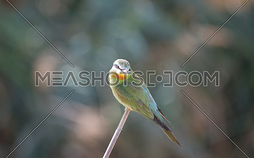 Blue Cheeked Bee Eater Bird on a branch