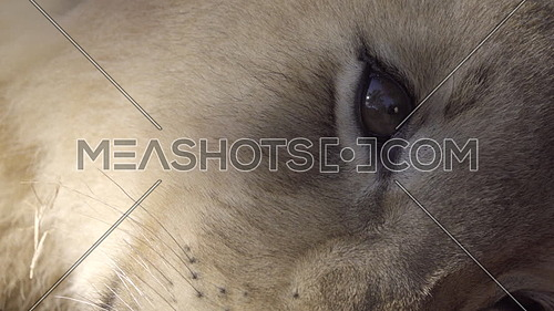 Very close shot of a lion cub eye