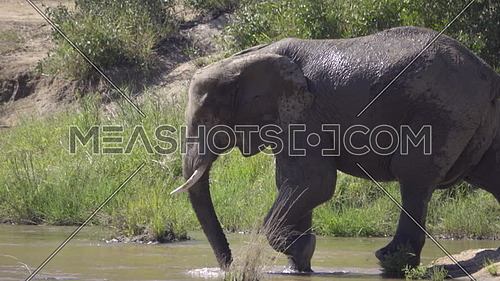 View of a huge bull elephant steping into river
