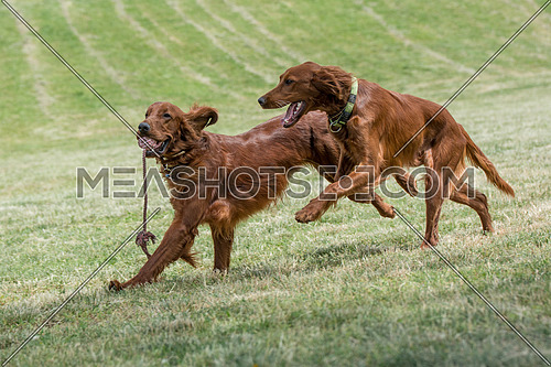 Two Irish setters runs across the field,selective focus on the d