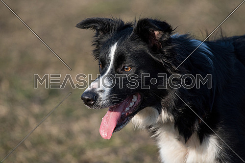 Portrait of border collie dog in nature