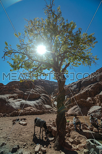 Long shot for a male tourist exploring Sinai Mountain at day. shot for bedouins get water from Ain hudra at Sinai Mountain at day. for almond tree with sun flares in Sinai Moutain at day.