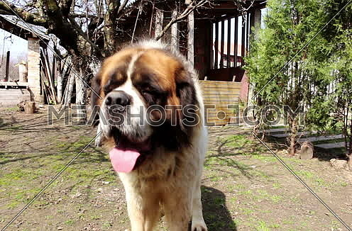 Saint Bernard Dog Closeup Outdoors