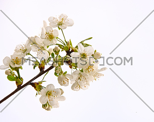 Close up white cherry tree blossom over white sky background, low angle view