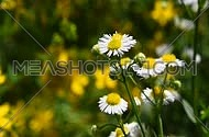 Wild meadow chamomile flowers shaking and trembling in the wind over green background of field, close up